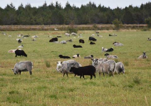 Det er søkt erstatning for tap av færre sauer og lam til rovdyr enn i fjor.