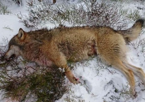 ULV: Denne ulven ble skutt i Gyland for noen år siden. I høst har saueiere i Kvinesdal og Hægebostad igjen vært plaget av at ulv herjer i saueflokker. FOTO: STATENS NATUROPPSYN