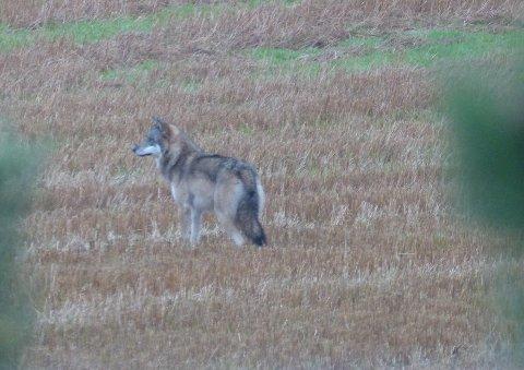 GRÅBEIN: Du kan også se video av ulven litt lenger ned i denne saken.