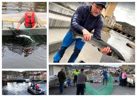 REKORDFANGST: Torsdag ble 19 laks reddet opp av inntaksdammen til Svanedal kraftverk. Alle fiskene ble sluppet ut i Hellelandsvassdraget etterpå.
