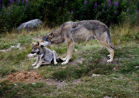 SER ULV: Ulvene på bildet har ingenting med angrepet på hunden å gjøre. De bor i Langedrag naturpark. Illustrasjonsfoto