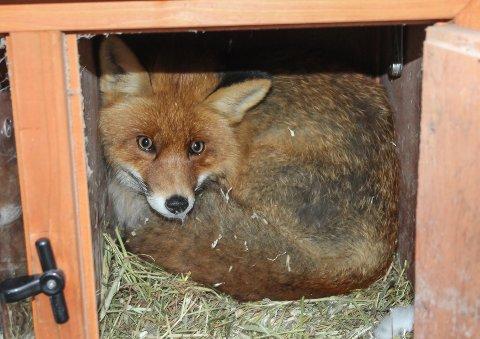 """BLE FOR GRÅDIG: Stenrød-reven ble for grådig og ble fanget i kaninburet til """"Brownie"""" og """"Scarlet""""."""