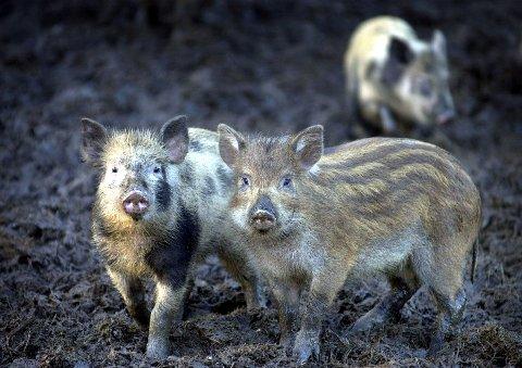 Kan fort bli mange villsvin i Østfold