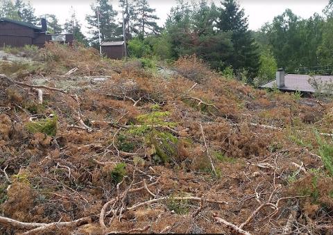 SNAUHUGST: Slik så det ut etter at skogsmaskinføreren hadde felt trærne på den ene hytteeiendommen, etter anvisning fra en representant fra styret i velforeningen.