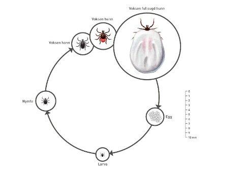 LIVSSYKLUS: Illustrasjonen viser flåttens livssyklus. Vanligvis varer en syklus fem til seks år, ifølge Arnulf Soleng. Illustrasjon: Hallvard Elven og Preben Ottesen, FHI
