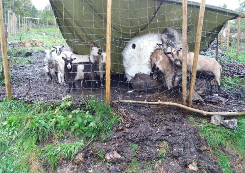 GRIPER INN: Et lokalt eksempel på at Mattilsynet  griper inn er at de valgte å avvikle geiteholdet på en gård i Lund etter at de flere ganger har gitt bonden pålegg om utbedringer uten at det har ført frem. På inspeksjoner har det blant annet blitt observert syke geiter og dyr i dårlig forfatning.