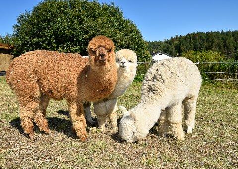 SJARMØRER: På Lund gård i Skotselv kan man hilse på alpakkaer. Blant annet Brad Pitt, Calle og Lasse.