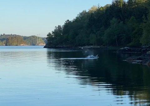 KASTER FISK: I videoen du kan se lenger nede artikkelen, kastes en fisk flere meter av hvalen.