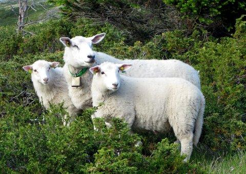 KVAM 20080716: Sau på fjellbeite i Gravdalen øst for Kvam i Gudbrandsdalen. Foto: Paul Kleiven / SCANPIX