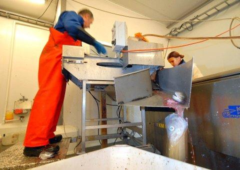 Mattilsynet har stengt Fjordlaks sitt anlegg på Ingøy med umiddelbar virkning. I tillegg mistenker Fiskeridirektoratet uregelmessigheter etter å ha gjennomført en vanlig ressurskontroll. Foto: Allan Klo Kappemaskinene ved Fjordlaks-anlegget på Ingøy forbruker ifølge bedriftsledelsen seks kubikk vann i timen. Det er fem ganger mer enn det eksisterende vannreservoaret på øya kan levere. Bedriftsledelsen er kritisk til Måsøy kommune, og mener det må bli fortgang i planene for å utvide vannkapasiteten. Begge foto: Allan Klo Fjordlaks, fiskeri, seiproduksjon, sei, fiskehode, fiskehoder, Ingøyfisk