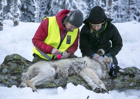 Statens Naturoppsyn undersøkte en ulv fra Slettåsreviret som ble skutt med bedøvelsespil, før den ble merket og satt ut igjen i januar tidligere i år. Foto: Henrik Skolt / NTB