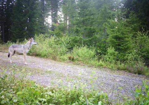FANGET PÅ KAMERA: Denne ulven ble fanget på et viltkamera langs Militærvegen mandag i forrige uke. Siden da har ingen sett den. Onsdag klokken 12.00 løper fellingstillatelsen på dyret ut.