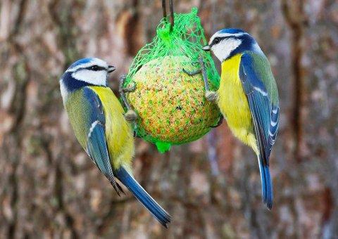 Skummelt: Meiseboller i et nett med tynne tråder er farlig for fuglene (Foto: Bjarne Borgersen)