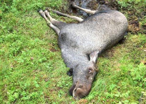 DØD: I Øvre Valnesfjord ble det funnet ei død elgku som mest sannsynlig er påkjørt.