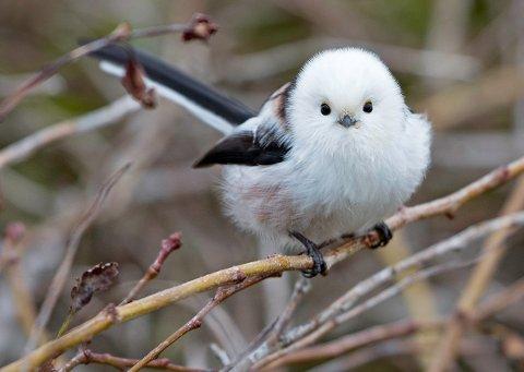 VAKKER: Stjertmeis er en vakker fugl, med rundt snøhvitt hode og en særdeles lang stjert. I høst og vinter har det vært stor innvandring av arten fra østlige strøk.