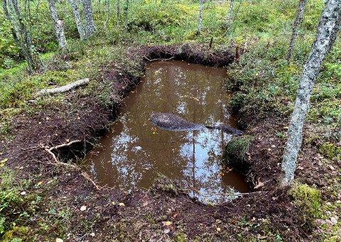 DØD: Elgen har falt ned i myrhullet og kom seg ikke opp igjen. Den ligger der fortsatt