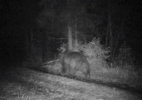 Denne bjørnen vandret natt til tirsdag i Nord-Tretten. Nå har Øyer kommune sendt inn søknad om skadefellingstillatelse.