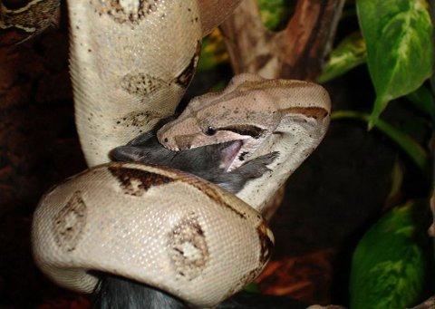 LEVENDE FÔR: Bildet viser en boslange som sluker en død rotte. Slangeeieren fra Nesodden innrømmer å ha gitt kongeboaen sin levende kaniner og dverghamster.