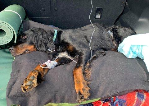 AKUTT SYK: I fem timer lå hunden Happy (7) utslått i bagasjen til Per Berger, mens hun fikk intravenøs næring. Han var redd for å miste henne.