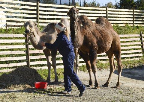 Første dagen i Norge: Kamelene Moses (t.v.) og Samson sammen med Sandra Horten. Ingen tvil om at de trives i sitt nye hjemland.