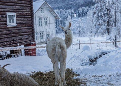 KJENDISLAMA: Vokterlamaen Knerten, som var å se på TV 2 forrige måned, var en populær figur under helgas julemarked på Piltingsrud Gård.