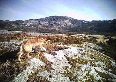 Løshund: Løshunden ble fanget opp av et viltkamera i Tiltvik i Hamarøy i helga. Tirsdag formiddag ble den skutt.