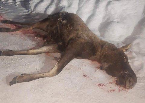 TO PÅ TORSDAG: Torsdag denne uka ble to elger påkjørt langs Sigdalsveien, ved Kopseng/Sole.