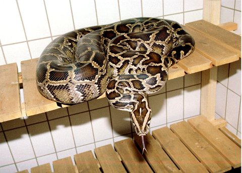 PYTON: Pytonslanger som denne er nå rammet av konkursen i Zoo-1 Gruppen AS.