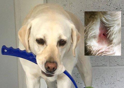 KRAFTIG BITT: Førerhunden Wita ble angrepet på gata utenfor Helsehuset på Kråkerøy.