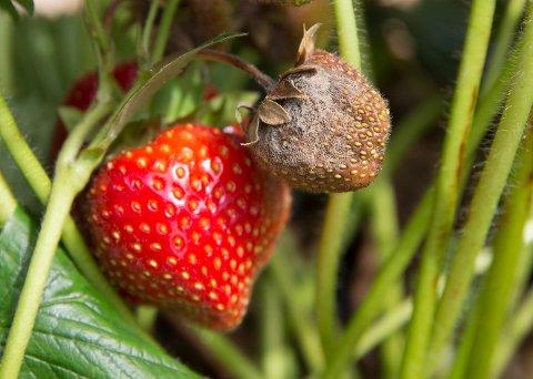 Gråskimmelsopp har forårsaket store skader på jordbæravlinger flere steder i landet.