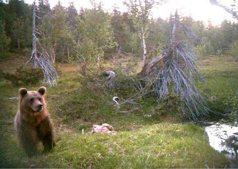 Bjørn fanget inn av kamera med bevegelsesensor. Litjfjellet i Svenningdal.