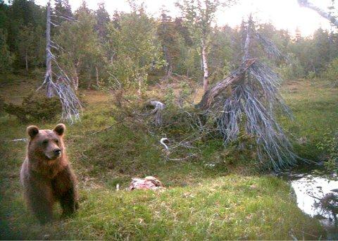 Bjørn er ikke helt uvanlig i Grane. PÅ dette arkivbildet er en bjørn fanget inn av kamera med bevegelsesensor ved Litjfjellet i Svenningdal.