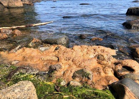 IKKE AVFØRING: Det brune slimet langs stranda i Lillevik er grønnalger som er under forråtning.