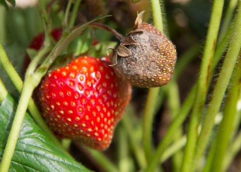 LIER  20160711. Fra Norske Jordbær DA i jordbæråkeren i Sylling, Lier, der en del av jordbærene har fått  gråskimmelsopp. Jordbæråkeren er beskyttet mot regn.   Foto: Berit Roald / NTB scanpix