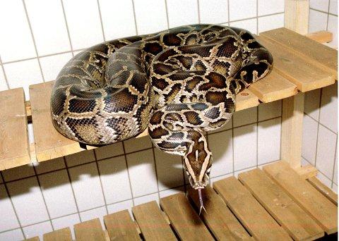 PYTON: Pytonslanger som denne er nå rammet av konkursen i Zoo-1 Gruppen AS. Foto: Anders Martinsen, Scanpix