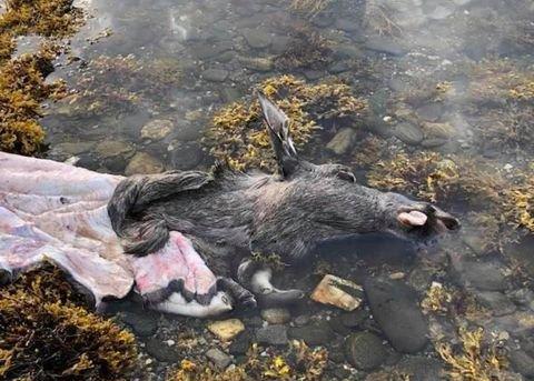 AVFALL: Dette elgskinnet og -hodet fant Jan Gunnar Klæboe rekende på havet i Gratangen.