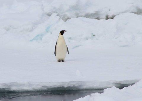 Geir feira nyttårsaftan ved kysten av Antarktis, saman med blant anna keisarpingvinar. (Foto: Privat).