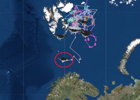 KURS MOT NORGE: Mandag satte en av de merkede knølhvalene kursen sørover. Nå forventer forskerne at de andre gjør det samme. Det store spørsmålet er om hvalene vil trekke inn i fjordene i Troms og Finnmark. Skjermdump: UiT.no