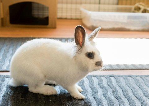 POPULÆRE: Kaninen er vårt tredje mest populære kjæledyr.