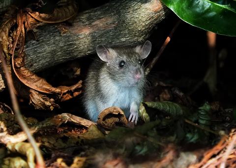 ROTTEPROBLEM: Denne rotta befant seg i hekken mot Vinmonopolet, ved den nye lekeplassen i Badeparken.