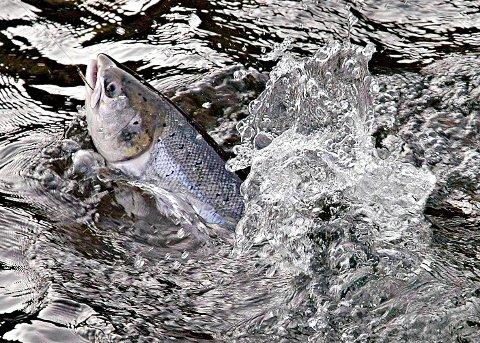 Laksesesongen varer i tre måneder. Hvert omsettes det for 1,3 milliarder kroner fra fiske, overnatting og varesalg.