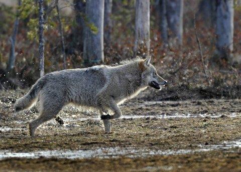 ULV: Tre sauar skal ha blitt tatt av ulv i Vassfaret i sommar. Sjølv om det skjedde på Buskerud-sida, følgjer SNO i Oppland nøye med.
