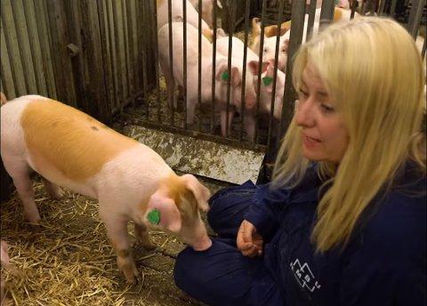 NMBU har publisert en video med professor i dyrevelferd Inger Lise Andersen. Videoen har vakt mange sterke reaksjoner fra dyrevernere som  mener at griser ikke bør holdes inne i båser.  Skjermdump: NMBU.