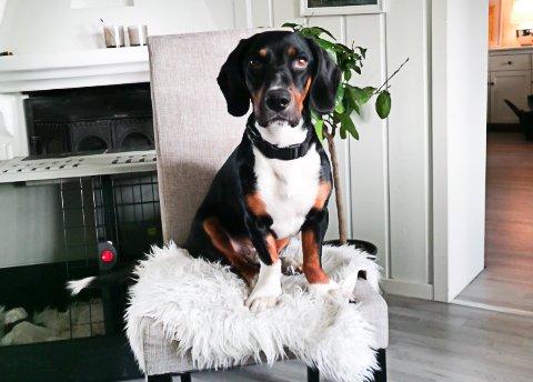 BUDDY: Hunden Buddy er en blanding av drever og dachs og har vært savnet siden søndag. Han har blått halsbånd.