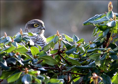 Spurvehaukhunnen følger nøye med på all aktivitet i området fra sin plass i rododendronen, men de mange småfuglene som nettopp var her i hagen, er varslet og borte vekk.