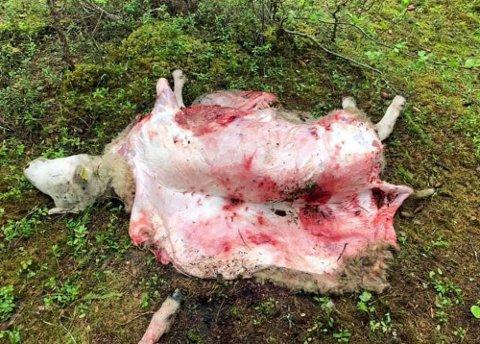 FLERE KADAVRE: I Bardu er det observert funn av ni kadaver og i Lavangen og Salangen er det funnet til sammen 11 døde sauer.