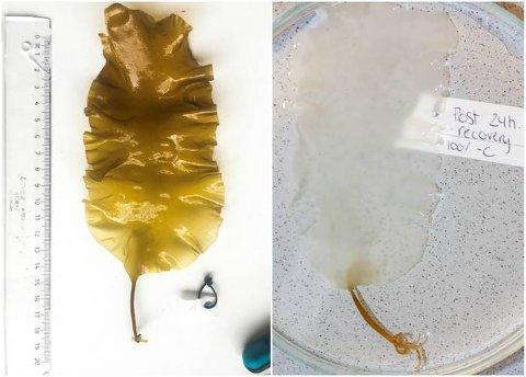 DØDELIG: Planten til er utsatt for hydrogenperoksid. Etter et døgn er den gjennomsiktig. FOTO: BARBRO TARALDSET HAUGLAND / HAVFORSKNINGSINSTITUTTET