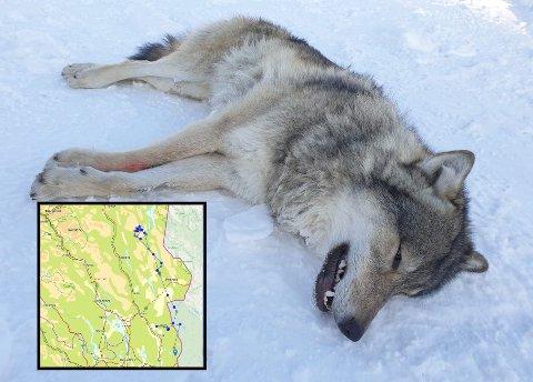 LANG VANDRING: Dette er ulven som ble bedøvet og flyttet 14. november i fjor.. Det har vært en lang vandring for Elgå-ulven, som har gått tur-retur fra Kongsvinger til Engerdal. (Dette er ulven som ble bedøvet og flyttet 14. november i fjor. Foto: Statens naturoppsyn/Miljødirektoratet)