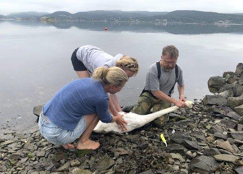 Holdt den fast: Med hjelp av Jens Gold fra fallviltnemnda i Holmstrand kommune, klarte de å få tak i svanen. Rundt to meter fiskesnøre ble dratt opp av svelget på svanen.