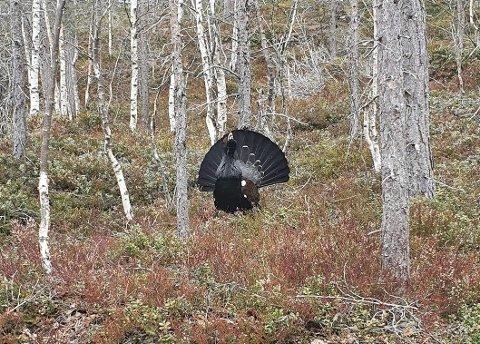 KAN BLI HISSIG: Tiuren innerst i skogen over Amla i Kaupanger, kan vera av den hissige typen dersom han blir irritert.